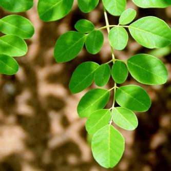 tierra-moringa-leaf-closeup