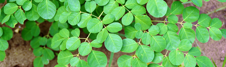 tierra_moringa_leaves_closeup