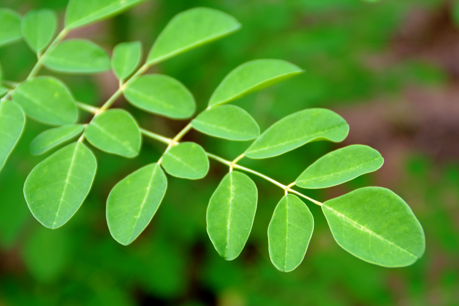 6 More Reasons Why Moringa Is Taking Over The Superfood